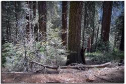Bear on the Hart Trail